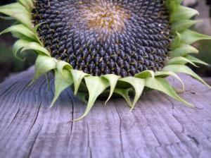 Обнаружено удивительное полезное свойство семечек подсолнуха